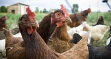 """Констатирано е огнище на """"Нюкясълска болест"""" по птиците в кърджалийското село Ненково"""