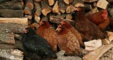 Огнище на Нюкясълска болест по птиците в град Лом