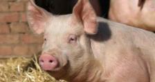 100 000 животни в Русенско може да бъдат засегнати от болестта африканска чума по свинете