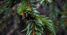 Обсъждат се спешни мерки за ограничаване на съхненето на иглолистните гори и борбата с корояда в Родопите