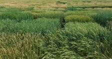 2017 година е рекордна по броя на получените заявки за сортоизпитване и признаване на нови сортове пшеници