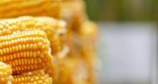 Малко над 88 милиона тона ще бъде тазгодишната реколта от царевица в Бразилия