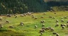Заповедите на директора на БАБХ за обявяване на чумата по дребните преживни животни са законосъобразни