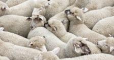 В региона на Търговище въвеждат превантивни мерки заради чумата по животните