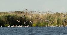Колонията на къдроглавия пеликан в Сребърна се обнови с около 100 млади екземляра
