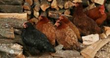 26 са потвърдените огнища на Инфлуенца по птиците в 5 административни области в страната