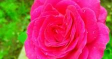 Акценти в отглеждането и преработката на маслодайна роза