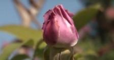 Новият Закон за маслодайната роза е одобрен на първо четене