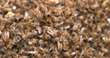 Стопани сигнализират за отравяне на пчелни семейства с глифозат