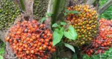 КОПА и КОДЖЕКА с критика срещу вноса на палмово масло