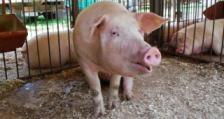 Китай продължава да е лидер в свиневъдството в глобален мащаб