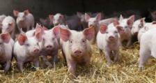 БАБХ потвърди ново огнище на aфриканска чума при домашни свине за първи път в област Враца