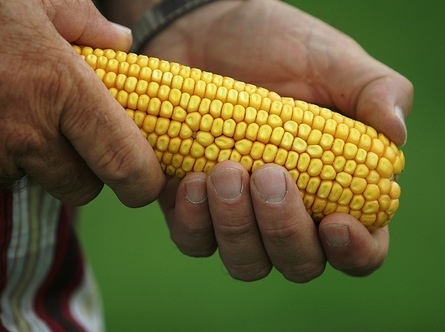 ear-of-corn-inspection_445