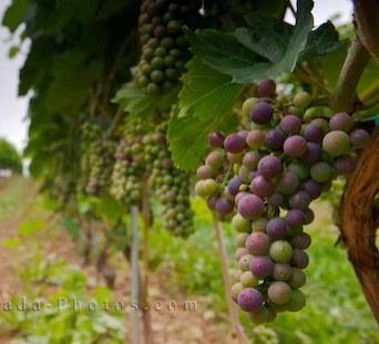 grape-vineyard_342