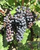 malbec-wine-grape_160