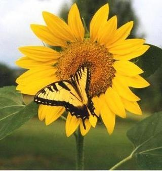sunflower-with-butterfly_336